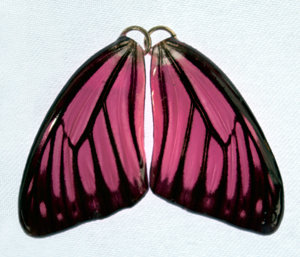 BFW0062 Natural Butterfly Wing Earrings