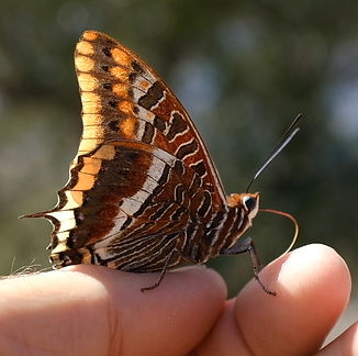 A-twin-tailed-pasha-butterfly-giving-tau