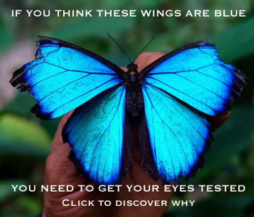 blue-morpho-bfwings-the-blue-butterfly.j