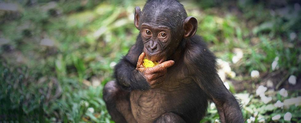 young-bonobo-eating-piece-of-fruit.jpg