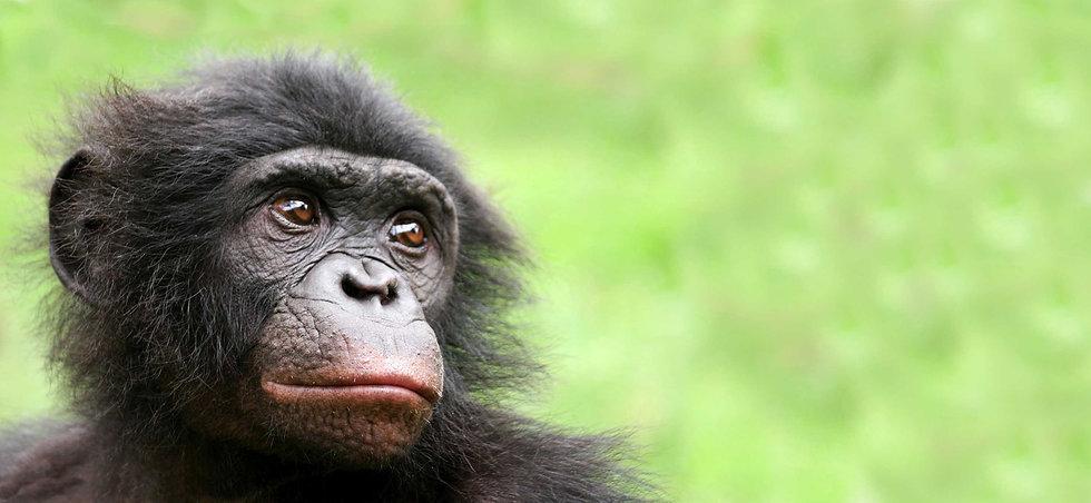 Shibombo-Lola-Ya-Bonobo.jpg