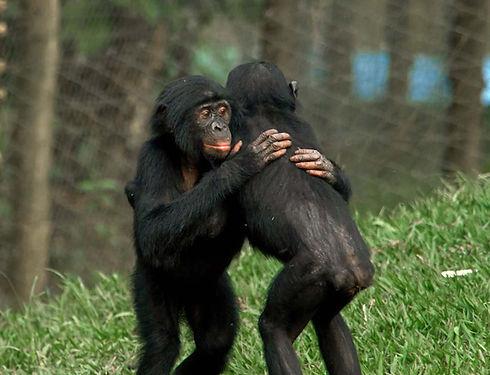 two-bonobos-hugging-in-green-grass.jpg