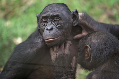 two-bonobos-grooming.jpg