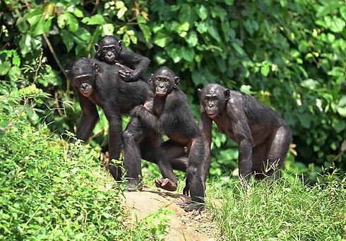 group-of-bonobos-in-rainforest.jpg