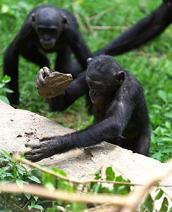 bonobo-using-tool-on-stone-wall.jpg
