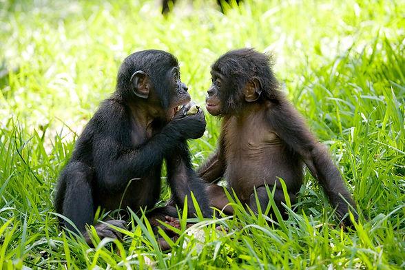 two-young-bonobos-sharing-fruit-at-lola-