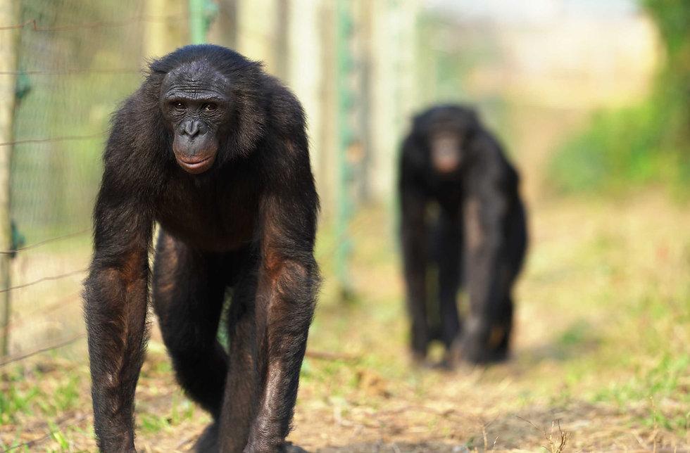 two-bonobos-walking-along-fence-in-congo