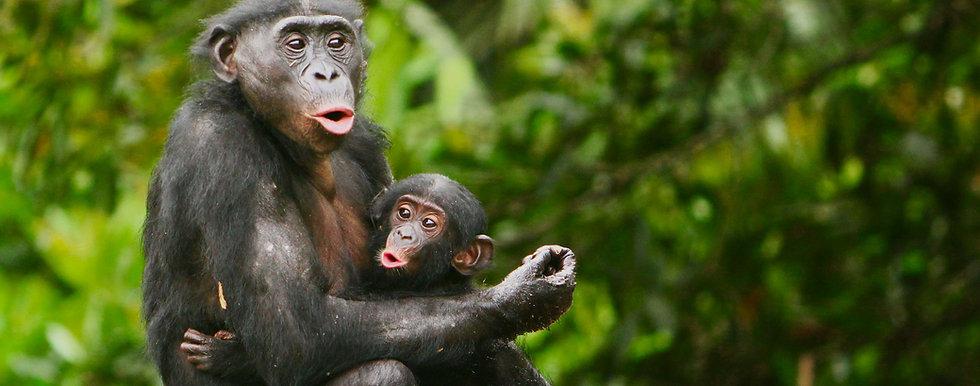 mother-bonobo-cradling-infant-bonobo-in-