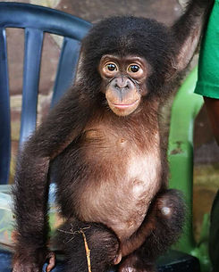 young-bonobo-sitting-in-blue-chair.jpg
