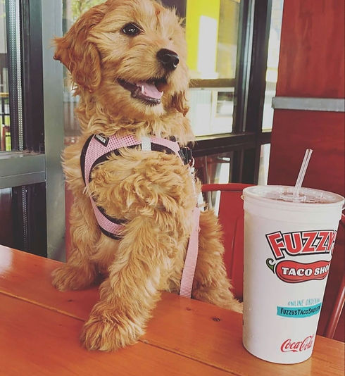 golden-puppy-with-paws-on-table-at-fuzzy