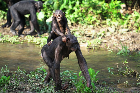 baby-bonobo-riding-on-back-of-its-mother