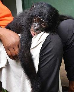 baby-bonobo-resting-on-lap-of-caregiver.