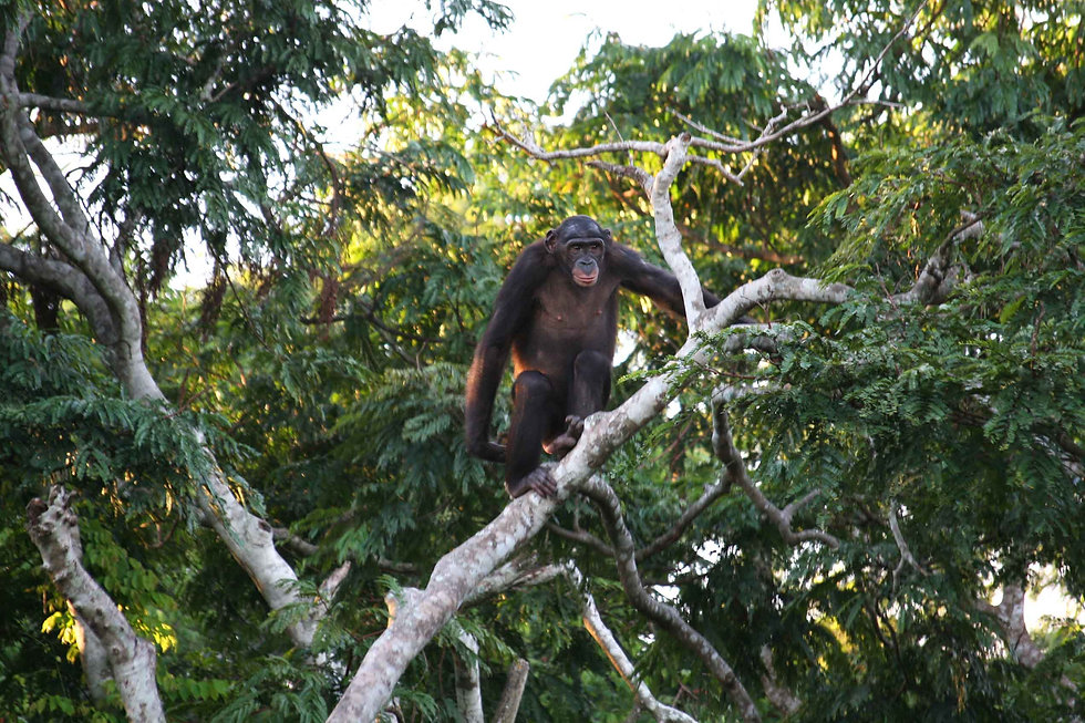male-bonobo-standing-on-tree-limb-in-con