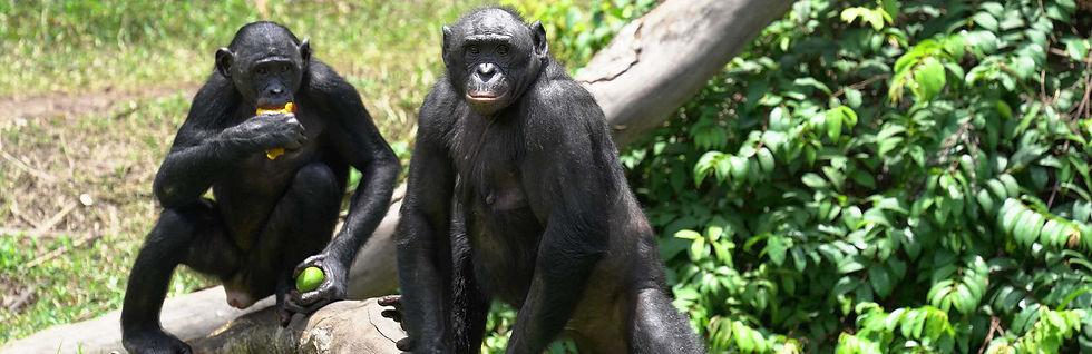 two-bonobos-sitting-on-tree-limb-eating-