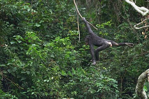 bonobo-swinging-in-the-trees.jpg