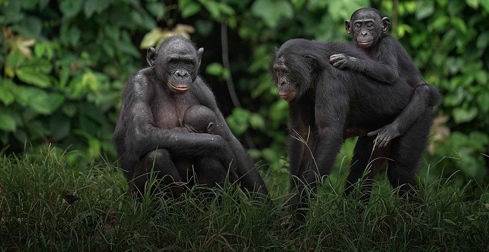 mother-bonobos-carrying-their-babies.jpg