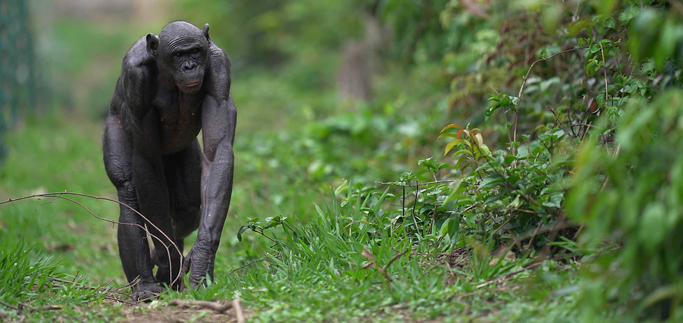 bonobo-walking-in-green-grass.jpg