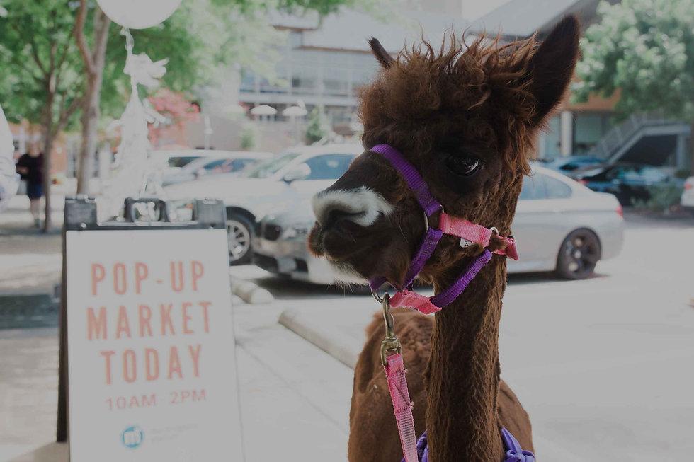 brown-llama-at-mockingbird-station.jpg
