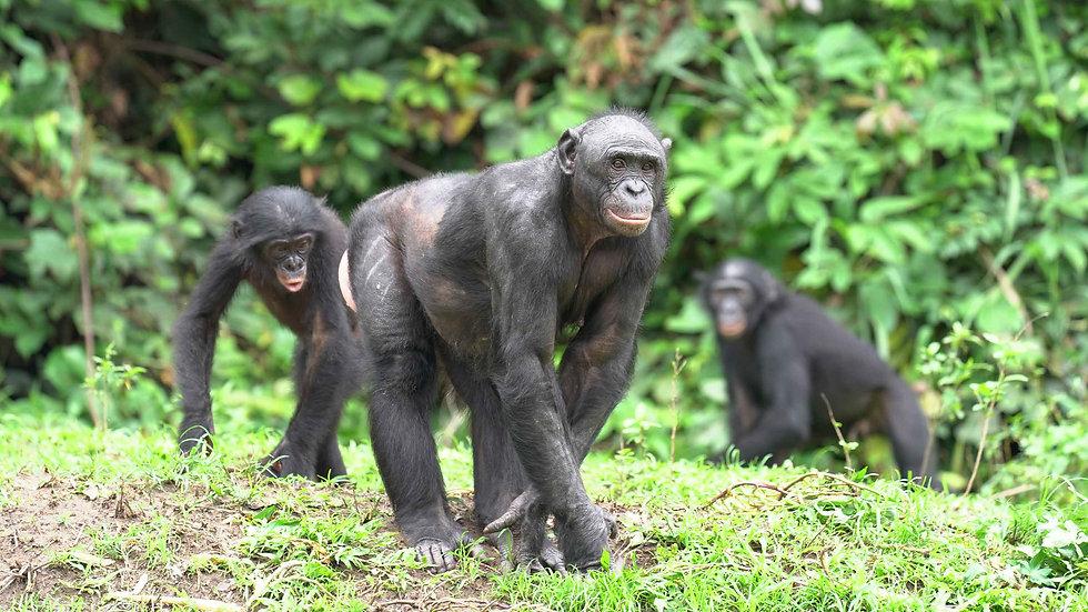 group-of-bonobos-at-lola-ya-bonobo.jpg