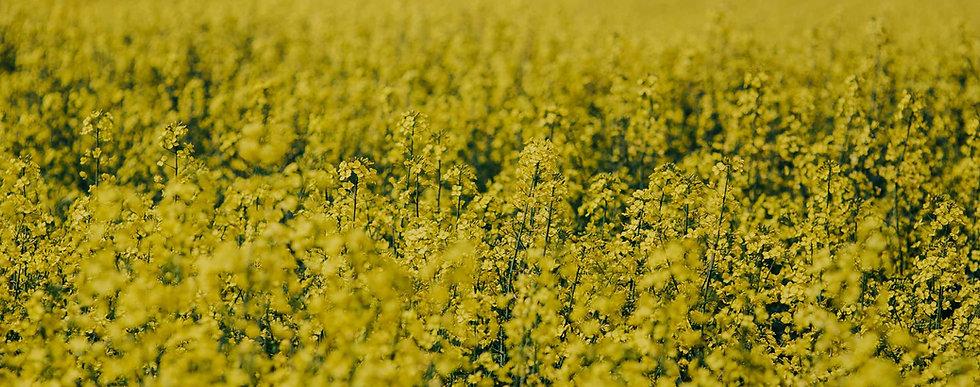 field-of-yellow-flowers.jpg