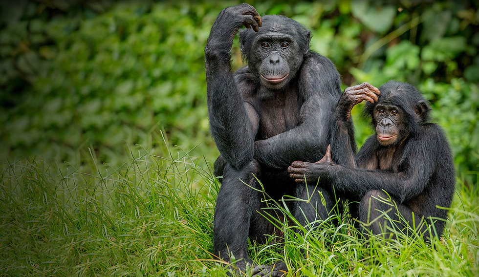 mother-and-baby-bonobos-sitting-in-grass