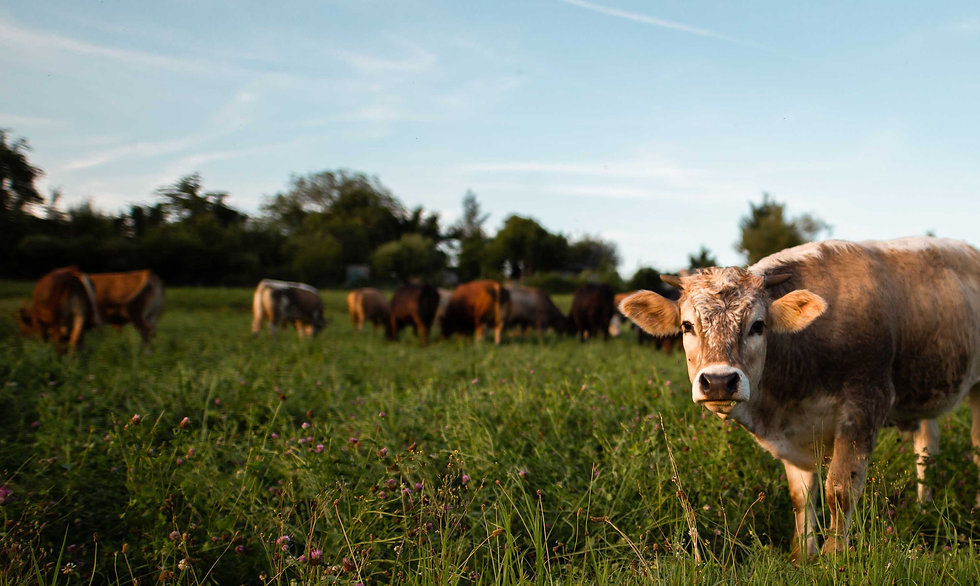 brown-and-white-cow-standing-in-field-of