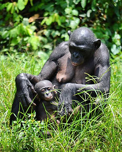 mother-and-baby-bonobo-resting-in-the-gr