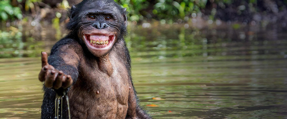 smiling-bonobo-in-river-holding-out-hand