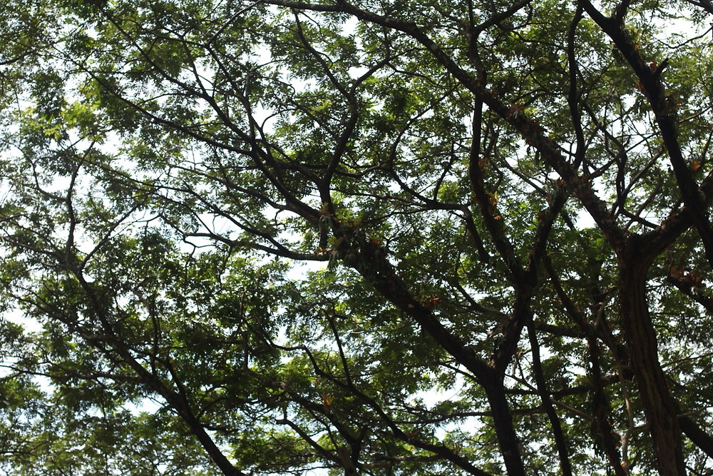 sapindus rarak trees north of Thailand