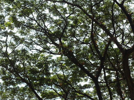 The Trees and the Soapberry Nuts