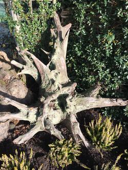 Oak Star Root