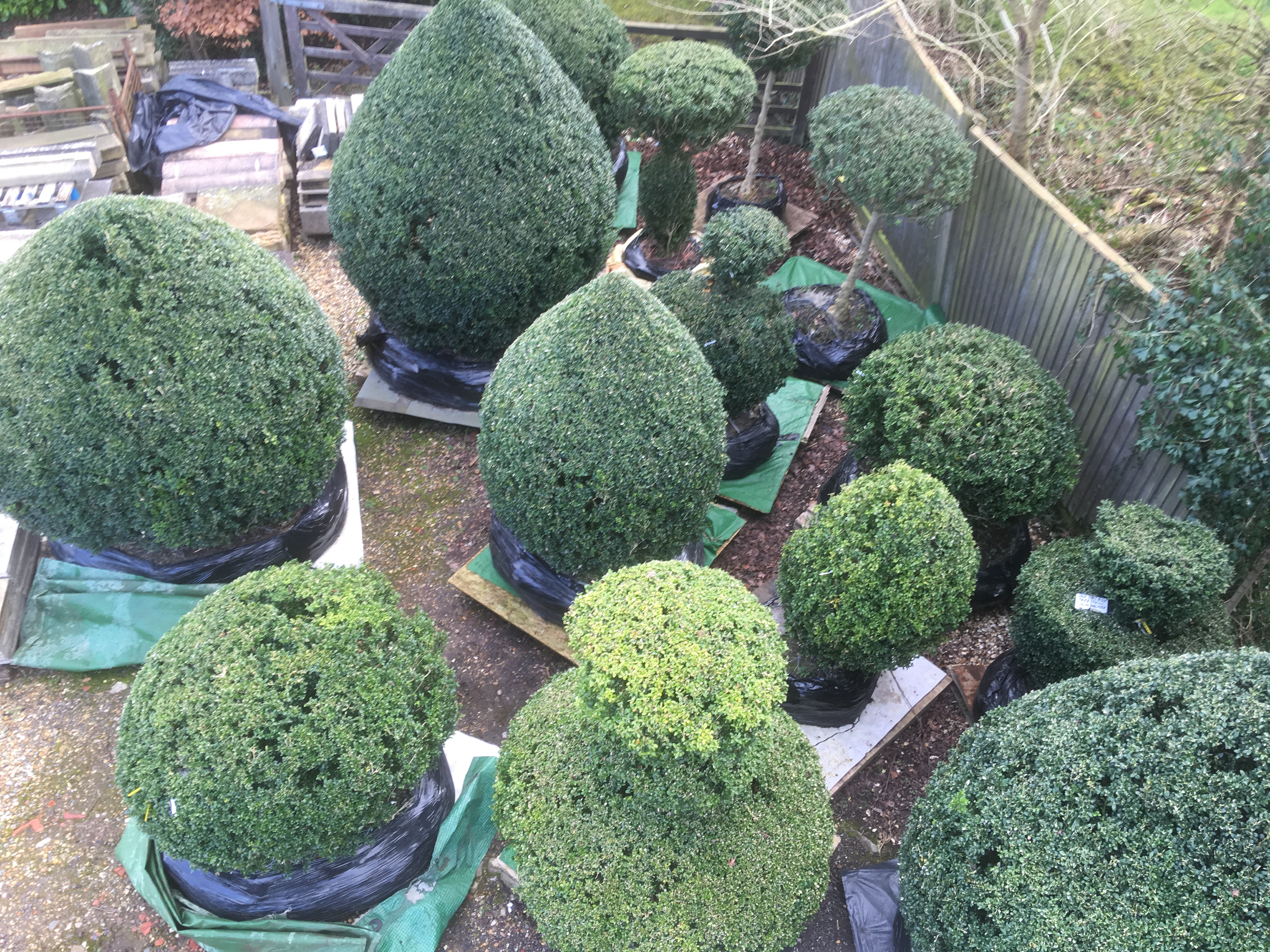 Giant English Buxus