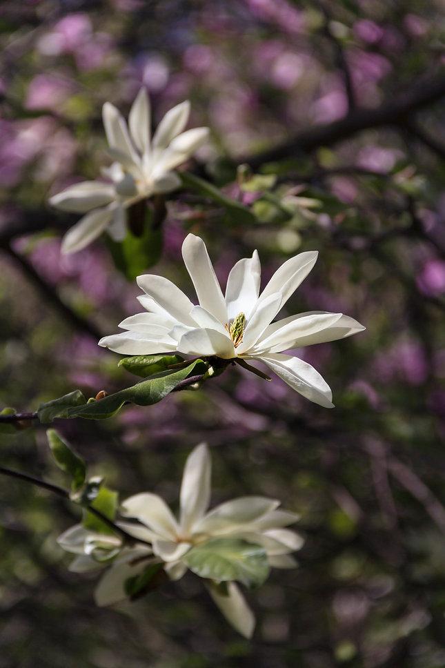 Magnolia-541640.jpg