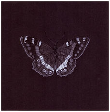 Drawing of endangerTable Mountain Pride Butterfly/ Aeropetes tulbaghiad by Gourlay-Conyngham