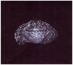 Drawing by Gourlay-Conyngham of endangered Giant Bullfrog