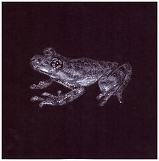 Drawing by Gourlay-Conyngham of endangered Table Mountain Ghost Frog