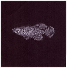 Drawing by Gourlay-Conyngham of endangered Caprivi Killifish