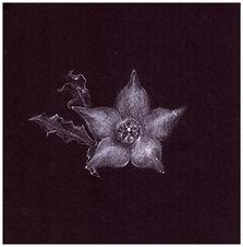 Drawing by Gourlay-Conyngham of endangered Brachystelma canum