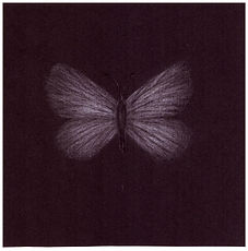 Drawing by Gourlay-Conyngham of endangered Brenton Blue butterfly