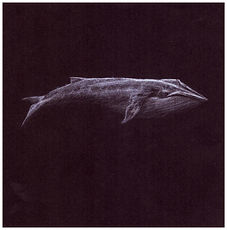 Drawing by Gourlay-Conyngham of endangered Blue Whale