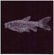 Drawing by Gourlay-Conyngham of endangered Berg River Redfin