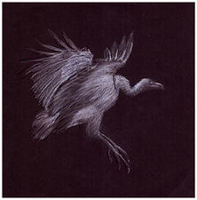 Drawing by Gourlay-Conyngham of endangered Cape Vulture