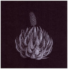 Drawing of an endangered aloe by Gourlay-Conyngham