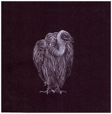 Drawing by Gourlay-Conyngham of endangered White Backed Vulture