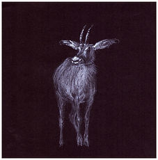 Drawing by Gourlay-Conynghamof endangered Roan Antelope