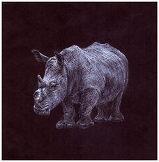 Drawing by Gourlay-Conyngham of endangered White Rhino