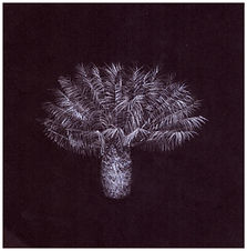 Drawing by Gourlay-Conyngham of endangered cycad