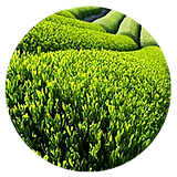 green-tea-extract.png