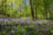 Bluebells Carpet.jpg