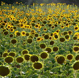 Sonnenblumen, 2018
